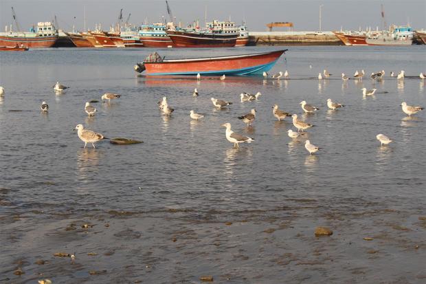 پرندگان ساحل مکران