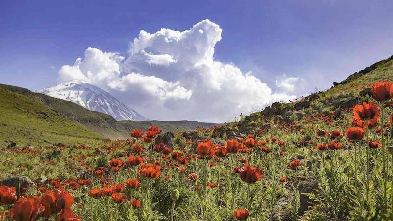 دشت لار؛ شقایقها در دامنه کوه